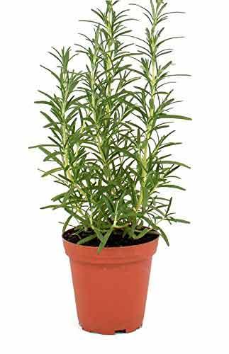 Live Herb Plant