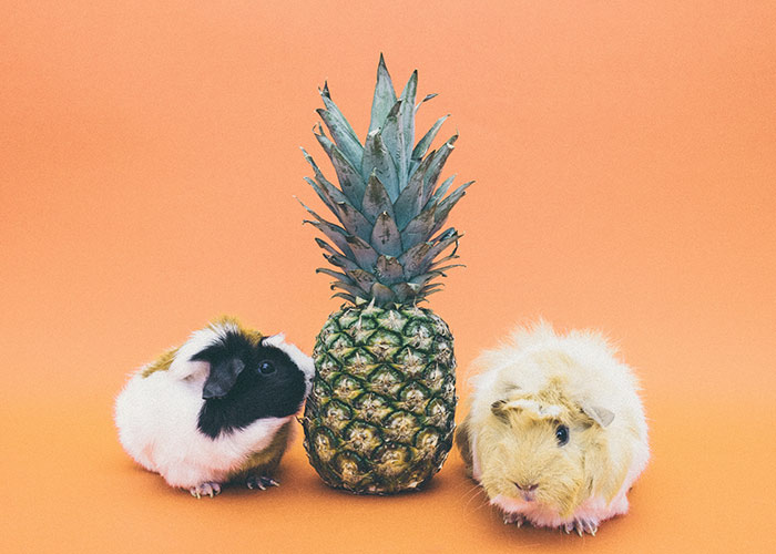 cute hamster couple and a pineapple