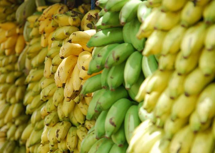 harvesting banana