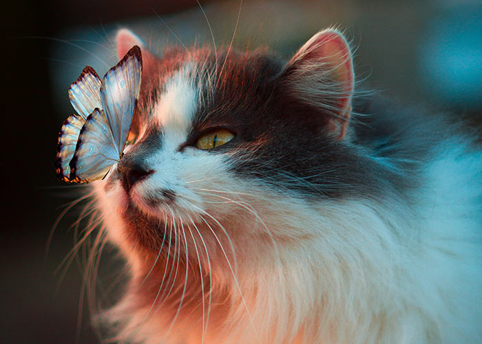 long hair cat and butterfly on nose -cat-facts