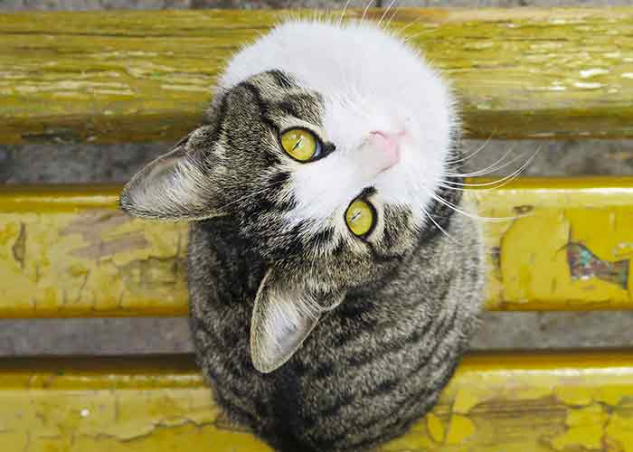 tabby white cat looking up -cat-facts