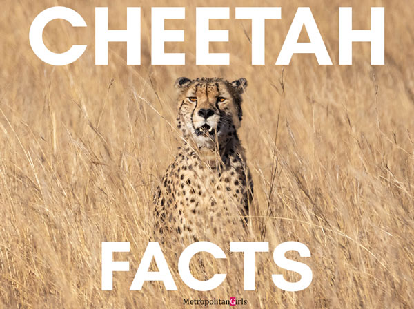 Looking to learn more about this majestic feline creature? Find out more about them from this list of cool cheetah facts